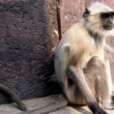 میمون قمارباز