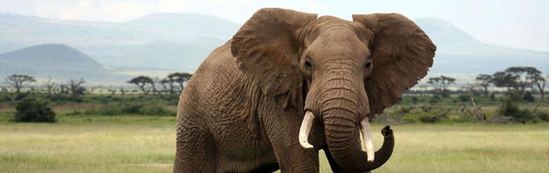 فیل بخصوص در فرهنگ کشور هند حیوانی مورد احترام است