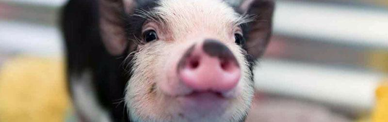 خوک در بسیاری از فرهنگ ها مظهر ثروت و پول است