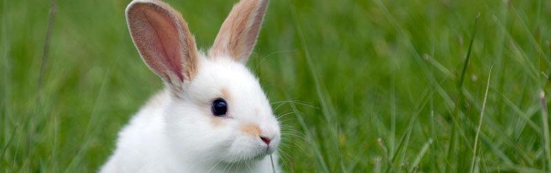 خرگوش در داستان ها نماد هوش و شانس است