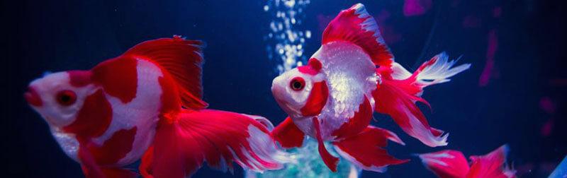 ماهی قرمز در بسیاری از کشورها از جمله ایران نمادی از خوش شانسی است