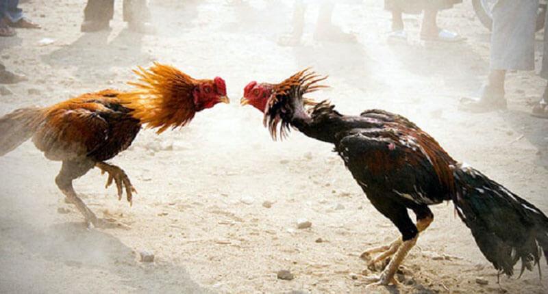 مسابقات مبارزات پرندگان مانند جنگ خروس ها بطور معمول با فعالیت های شرط بندی و قماربازی مرتبط است