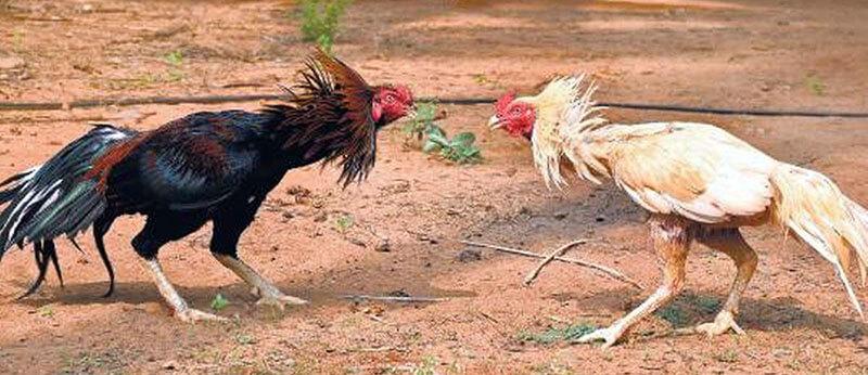 پلیس هندوستان همواره بر اساس قانون با مسابقات پرندگان از قبیل جنگ خروس ها به مقابله میپردازد