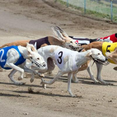 مسابقه سگ های گری هوند